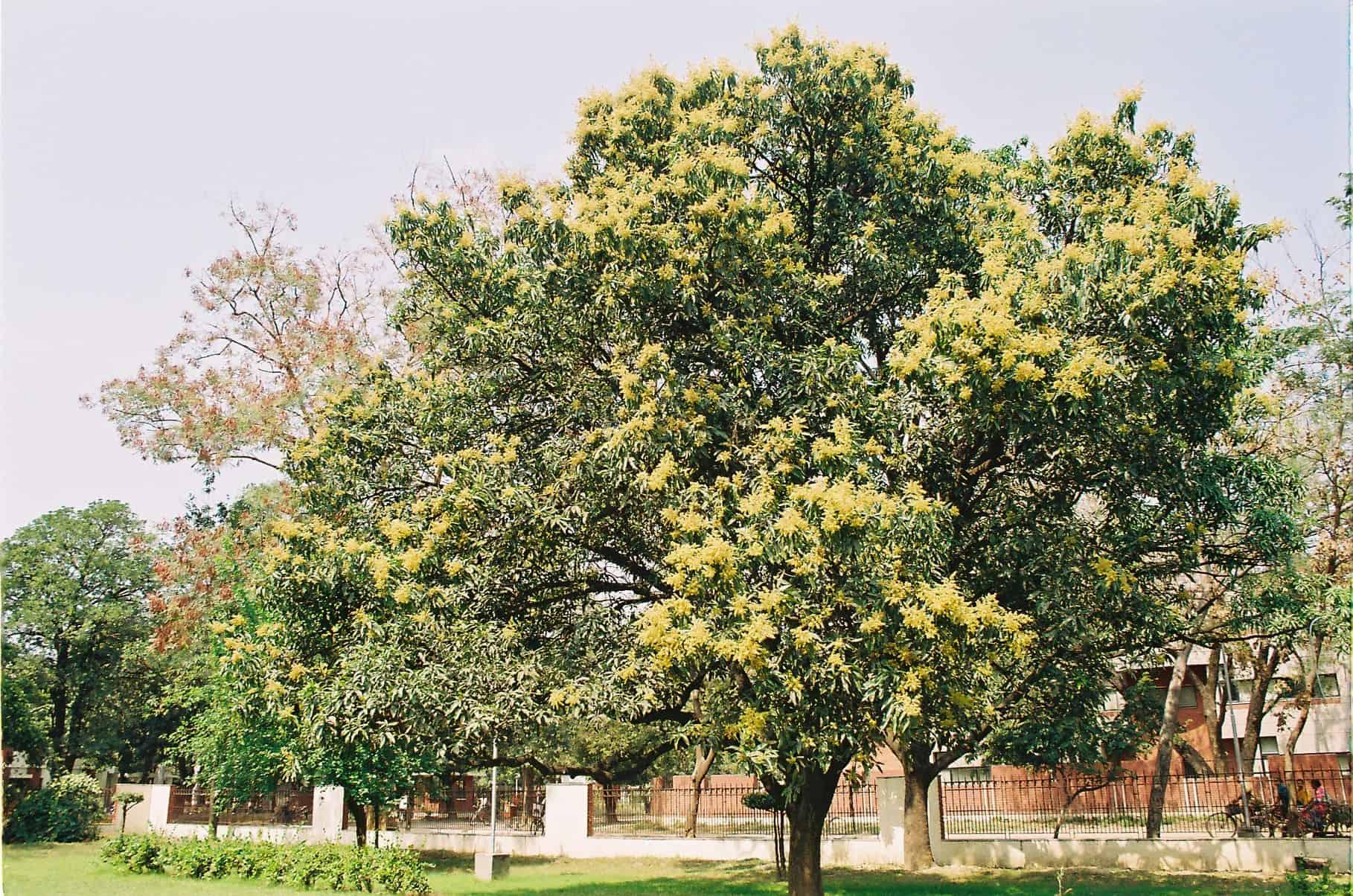 Mangohout komt van een Mangoboom. Deze bomen kunnen maar liefst 40 meter hoog worden en hebben een dikke stam van 3 tot 5 meter omtrek.